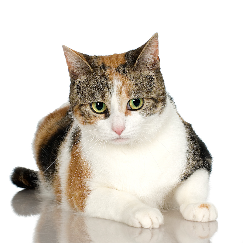 Black Calico Cat Calico cats are cats with